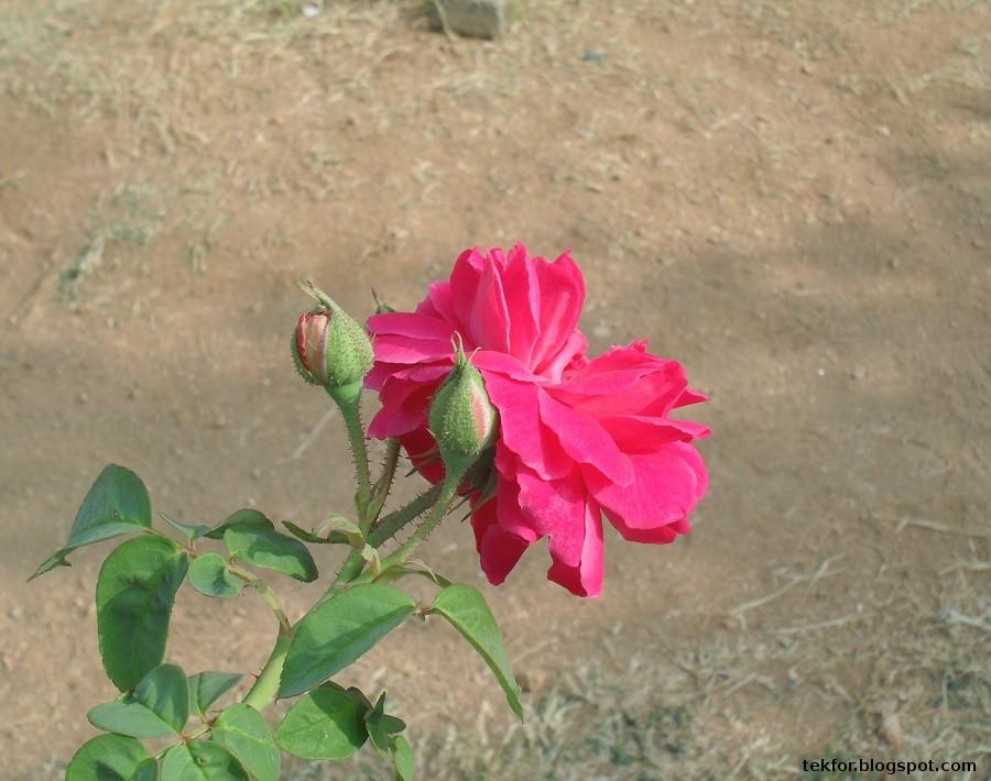 Blue Sky Fragrant Rose Flowers
