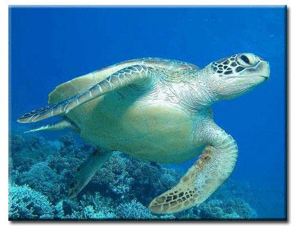 Kemps Ridley Sea Turtle Shell Miss Koch's Science Wi...