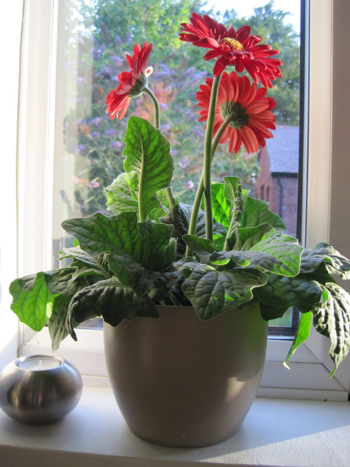 Комнатная гербера, уход за цветком в домашних условиях