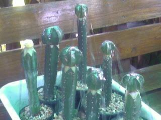 نبتة الصبار - زراعتها - نبات الصبار والإكثار منه - بالصور