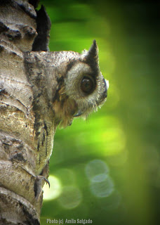 Indian Scops Owl in Feb 2006