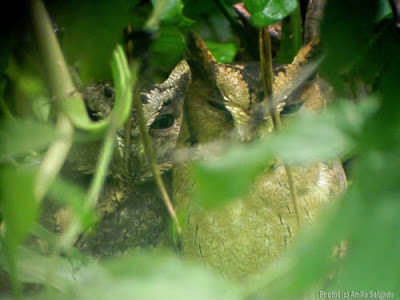 Indian Scops Owls roosting in my garden