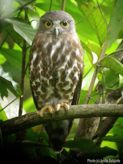 Brown Hawk Owl in my home garden
