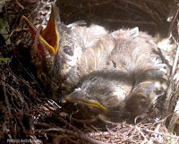Spot-winged Thrush nestlings