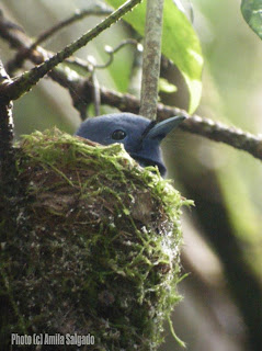 Black-naped Monarch in a nest - 7 Jan, 2008