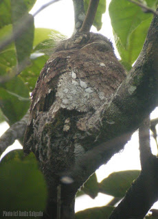 Sri Lanka Frogmouth in a nest - 7 Jan, 2008