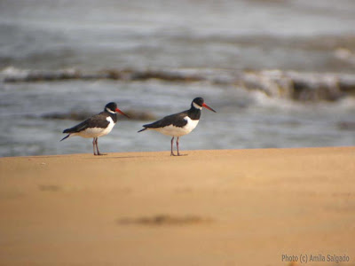 A pair of Eurasian Oystercatchers at the Chilaw Sandspits, 15 March, 2008