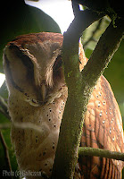 Bay Owl, 19 Jan, 2007