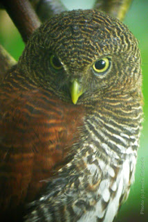 Chestnut-backed Owlet in Kithulgala