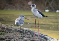 Common Greenshank and Black-winged Stilt