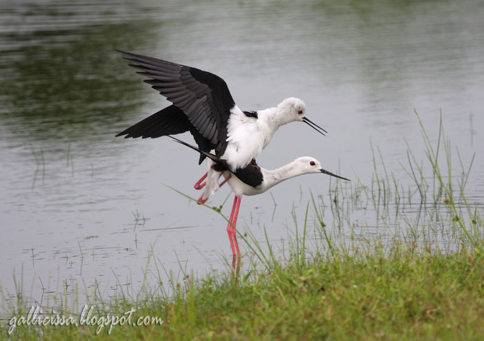 Black-winged Stilt mating sequence-4