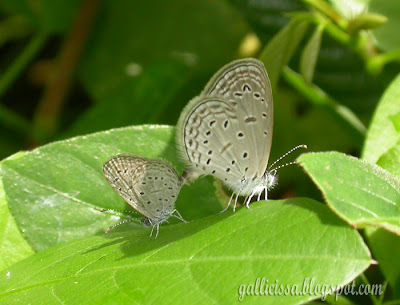 Tiny Grass Blue - mating at my home garden