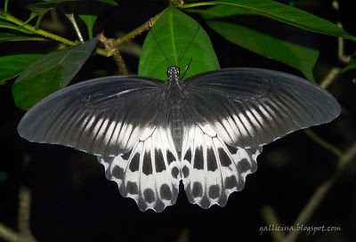 Blue Mormon in my home garden