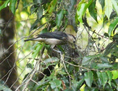 A White-faced Starling probing into some cobwebs in Sinharaja 'World Heritage' Rain forest in Dec, 2007