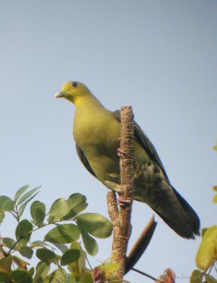 Sri Lanka Green Pigeon at teh Peak Wilderness Sanctuary