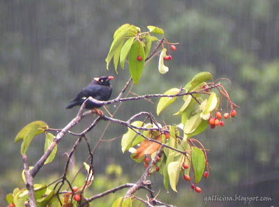Sri Lanka Myna in rain - resting on an endemic Bheasa ceylanica in fruit in Sinharaja 'World Heritage' rain forest