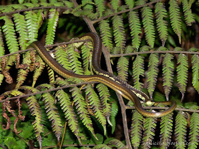 Common Bronzeback Tree Snake