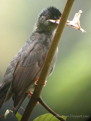 Square-tailed Black Bulbul with nesting material
