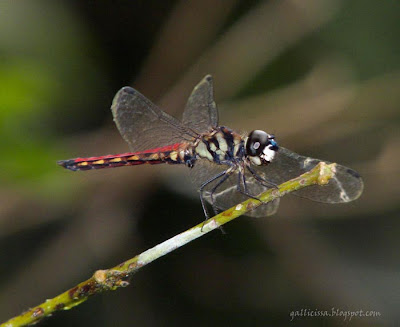 The male of the new Lyriothemis from Sinhraja 'World Heritage' rain forest