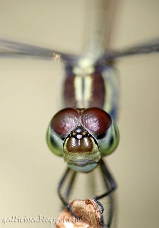 Lathrecista asiatica asiatica female