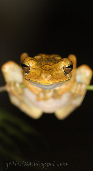 Common Hourglass Tree-frog