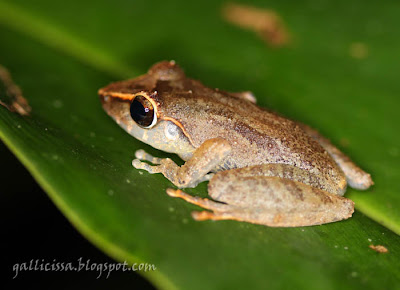 probable Orange-canthal Shrub Frog