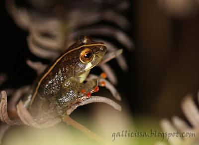 Labugama Shrub Frog