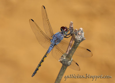 Blue Pursuer - male