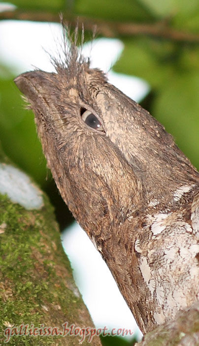 Sri Lanka Frogmouth male