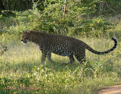 Leopard at Meda-para, Yala National Park