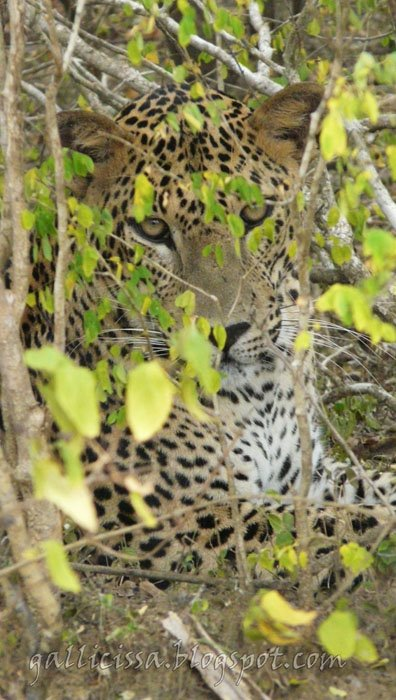 Leopard at point blank range, Yala National Park