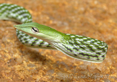 Green Whip Snake - library pic