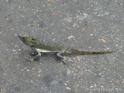 Hump-nosed Lizard