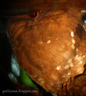 Sri Lanka Frogmouth male digi-scoped with yellowy light