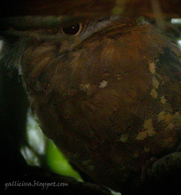 Sri Lanka Frogmouth - digiscoped in available daylight