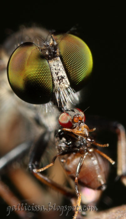 Robberfly feeding on a tiny fly
