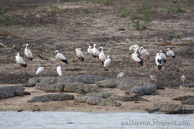 A crowded scene with Asian Openbill, Mugger Crocodiles, Black-crowned Night Herons and Little Egrets