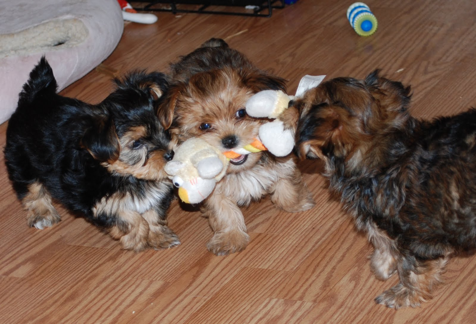 Shorkie Puppies: Tug a War Shorkie Puppies favorite game!