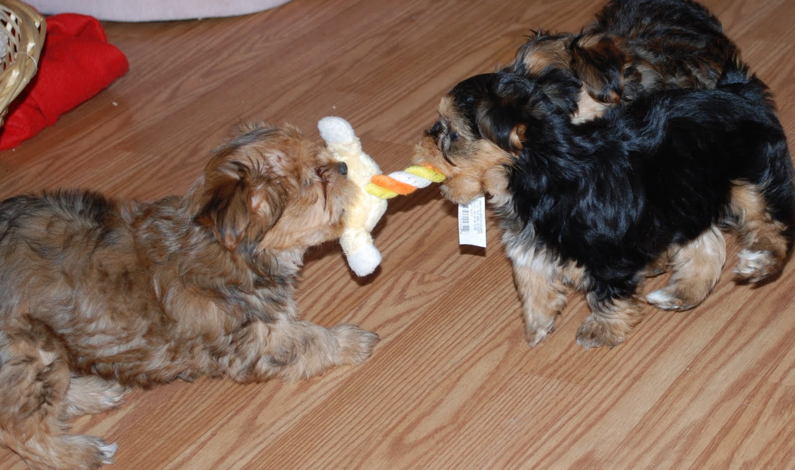Shorkie Puppies wallpapers