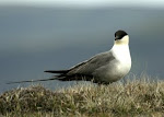 Long-tailed Skua Photos (click photo)