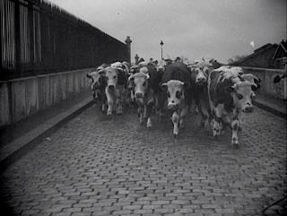 Le Sang des Bêtes - Georges Franju - Vaches