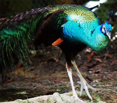 sang gagak and sang merak Amjg telah banyak mempostingkan tentang kecerdasan burung gagak burung yang satu ini memang terkenal dengan kecerdasannya melebihi burung-burung lainnya nah kali ini amjg mempostingkan satu lagi keunikan burung gagak yang tak sengaja tertangkap kamera seorang fotografer.