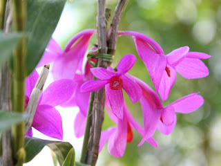 Tanaman Cantik, Great Anggrek, Cute, Red, Dendrobium Sulawesiense, Orchid Flower, Beautiful Plant