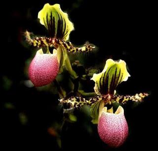 Paphiopedilum chamberlainianum Orchid, Anggrek Cantik, Tanaman Langka, Bunga Indah