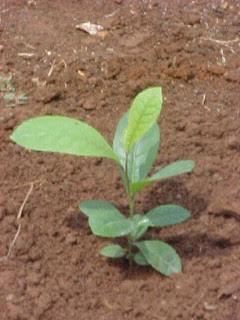 planta poda