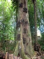 Toraja tombs trees in the ground