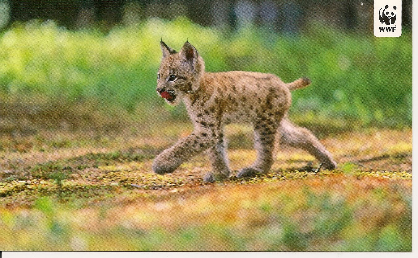 82 best images about Lynx and/or Bobcat on Pinterest