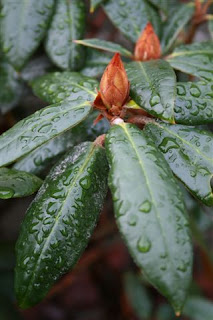 Rhododendron buds in winter