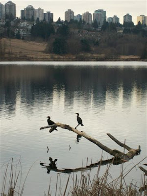 Cormorants on Deer Lake in Burnaby BC