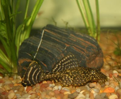 Plecostomus feeding on bottom of aquarium